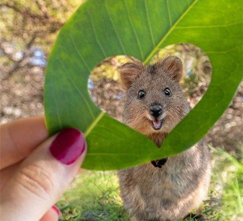 loài động vật hạnh phúc nhất thế giới Quokka