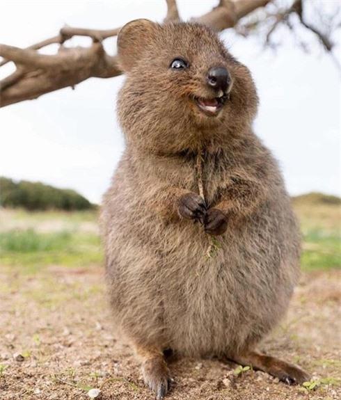 loài động vật hạnh phúc nhất thế giới quokka luôn nở nụ cười tươi
