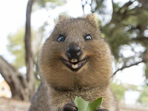 động vật hạnh phúc nhất thế giới quokka trông thật ngộ nghĩnh
