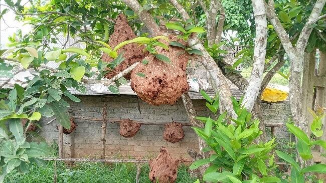 nuôi ong vò vẽ tại nhà