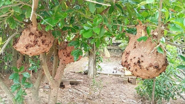 ong vò vẽ nuôi tại nhà